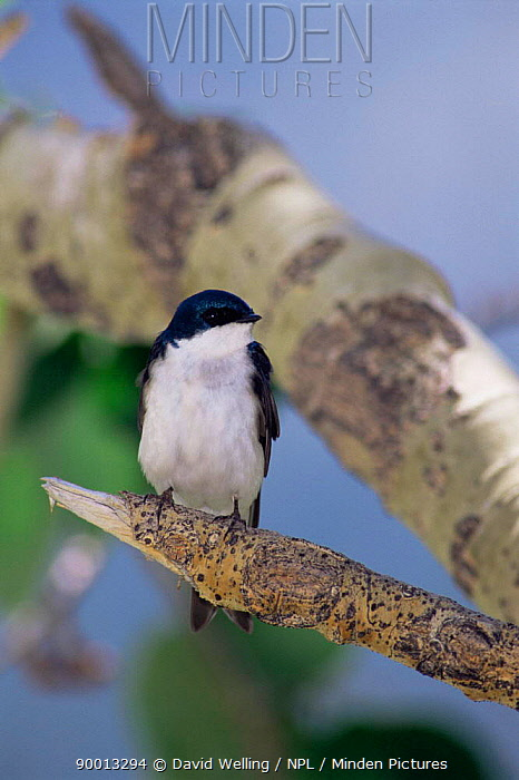 Tree Swallow (Tachycineta bicolor) male perching on branch, California  -  David Welling/ npl