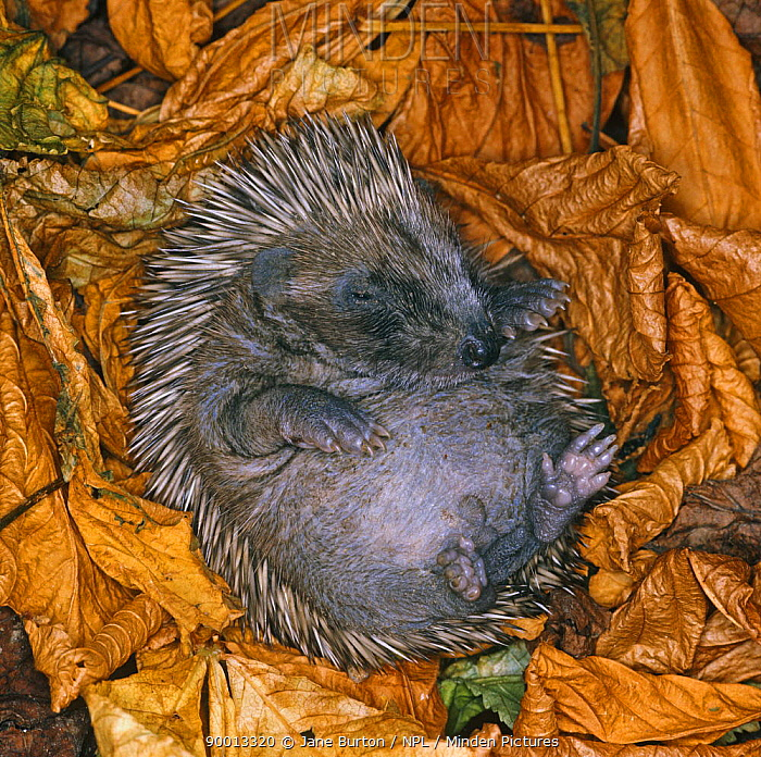 Brown-breasted Hedgehog (Erinaceus europaeus) baby amongst autumn leaves,  -  Jane Burton/ npl