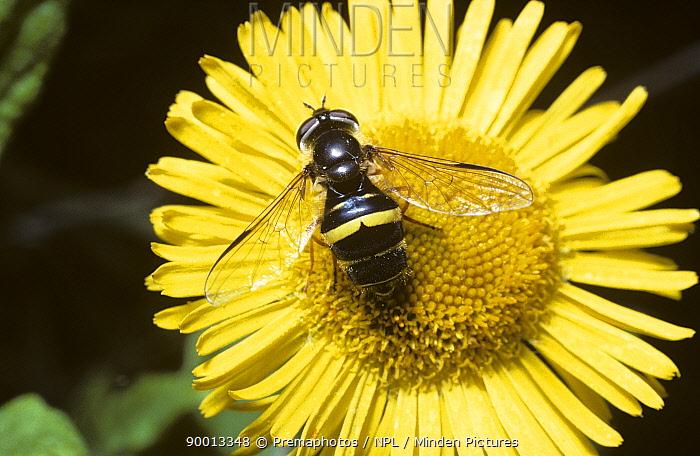 Hover fly (Dasysyrphus tricinctus) female on Fleabane flower, UK  -  Premaphotos/ npl