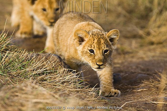 African Lion (Panthera leo) cubs learning to stalk, Masai Mara GR, Kenya  -  Anup Shah/ npl