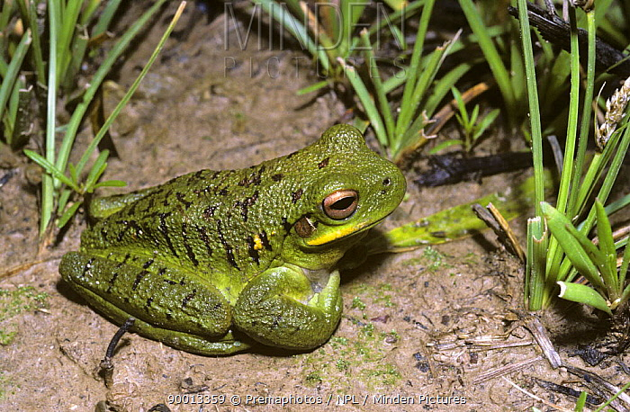 Green Frog (Hyla pulchella) in a temporary seasonal marsh at an altitude of 3400m in the Bolivian Andes  -  Premaphotos/ npl