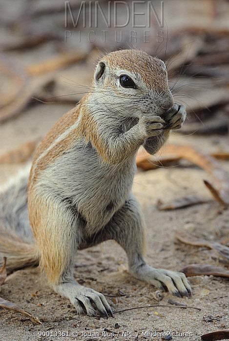 Cape Ground Squirrel (Xerus inauris) feeding, Kgalagadi Transfrontier Park, Kalahari desert, South Africa  -  Jouan & Rius/ npl