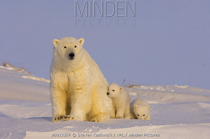 Polar Bear (Ursus maritimus) sow with her cubs, newly emerged from their den on the Arctic coast, eastern Arctic National Wildlife Refuge, Alaska  -  Steven Kazlowski/ npl