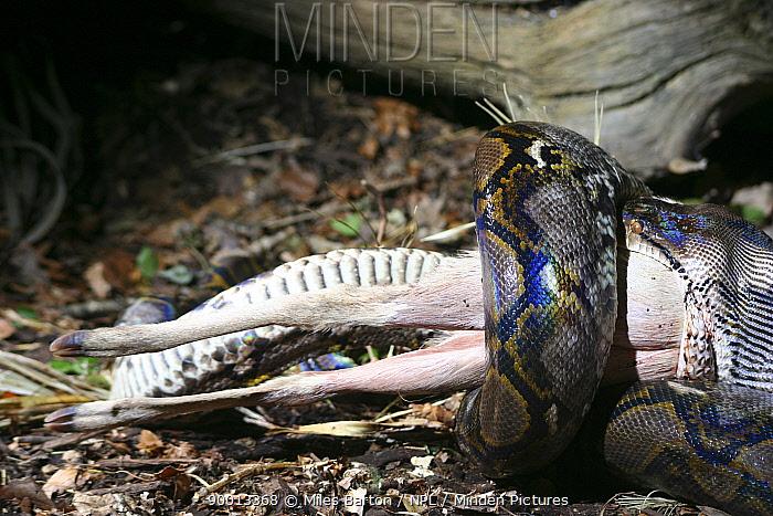 Reticulated python (Python reticulata) feeding on a Muntjac deer, captive, UK  -  Miles Barton/ npl