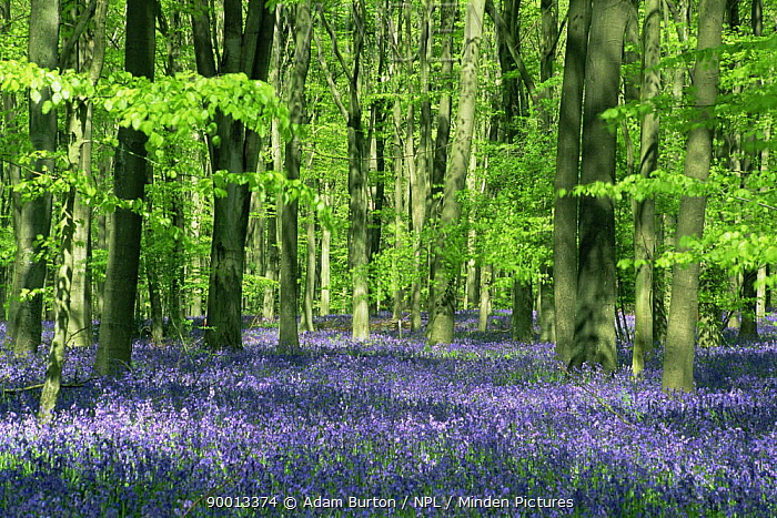 Bluebells flowering in Beech woodland, Micheldever, Hampshire  -  Adam Burton/ npl