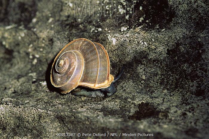 Snail (Tropidophora sp) on rock, Ankarana, Madagascar Endemic  -  Pete Oxford/ npl