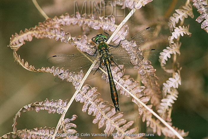Downy Emerald (Cordulia aenea) male on bracken, United Kingdom  -  Colin Varndell/ npl
