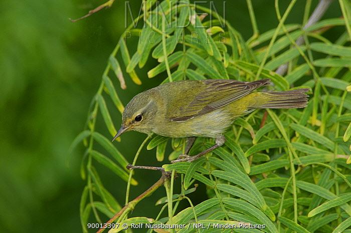 Tennessee Warbler (Vermivora peregrina) adult, South Padre Island, Texas  -  Rolf Nussbaumer/ npl