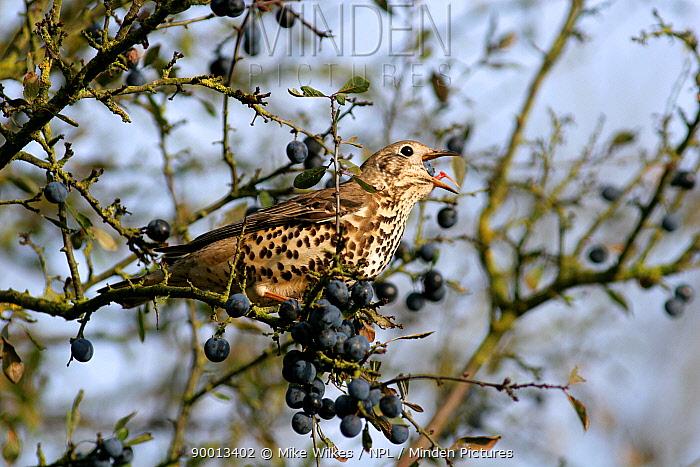 Mistle Thrush (Turdus viscivorus) perching on Blackthorn (Prunus spinosa) eating Sloe berry, Warwickshire, United Kingdom  -  Mike Wilkes/ npl