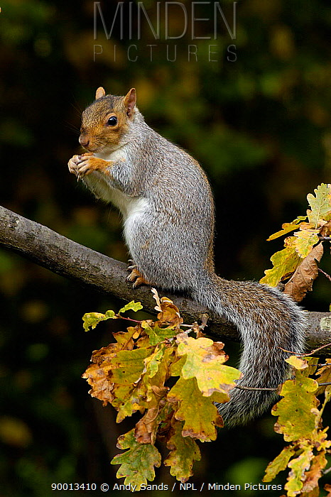 Eastern Gray Squirrel (Sciurus carolinensis) sitting-up feeding on oak branch in autumn, Hertfordshire, England  -  Andy Sands/ npl