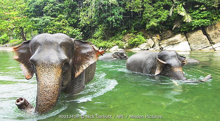 Sumatran forest elephants (Elephas maximus sumatrensis) bathing, Gunung Leseur NP, Sumatra, Indonesia  -  Nick Garbutt/ npl