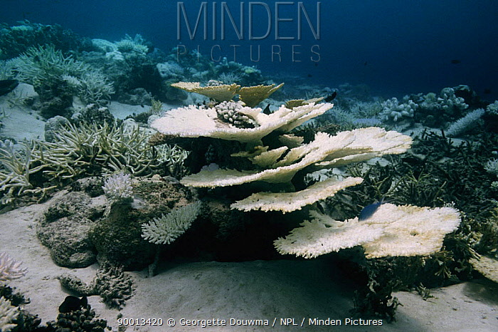 Coral showing the effects of bleaching Maldives, Indian Ocean  -  Georgette Douwma/ npl