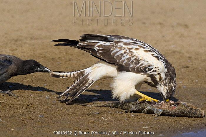 Common Buzzard (Buteo buteo) harassing Common buzzard (Buteo buteo) white morph, by pulling its tail feathers Germany  -  Bruno D'amicis/ npl