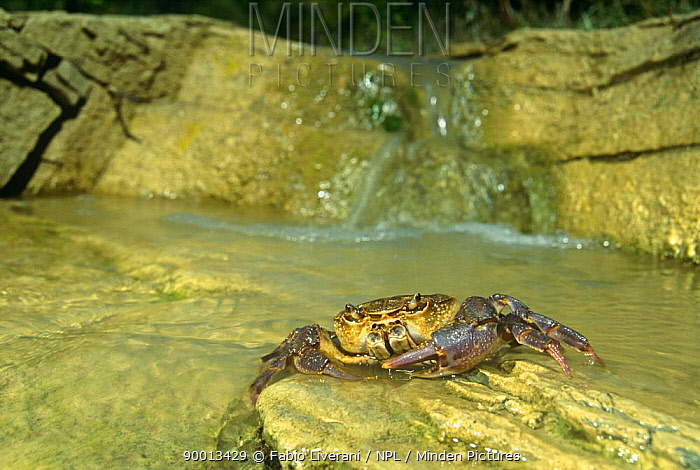 Short-tailed Crab (Potamon fluviatile) in Resina river, Umbria, Italy  -  Fabio Liverani/ npl
