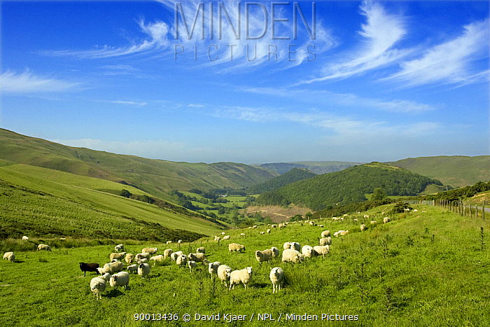 Welsh landscape with domestic sheep, showing the Sessile Oak woods of Rhuddallt (nearest wood covered hill) and Gwenffrwd-Dinas RSPB reserve behind  -  David Kjaer/ npl