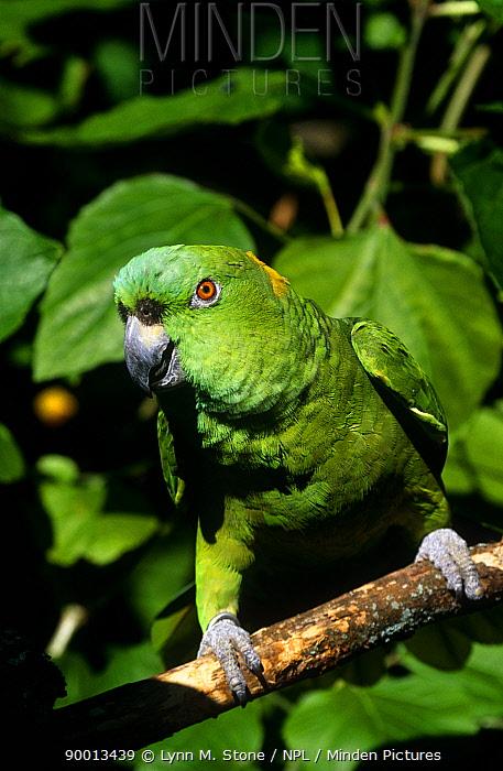 Yellow naped Amazon Parrot (Amazona auropalliata) on branch, captive  -  Lynn M. Stone/ npl