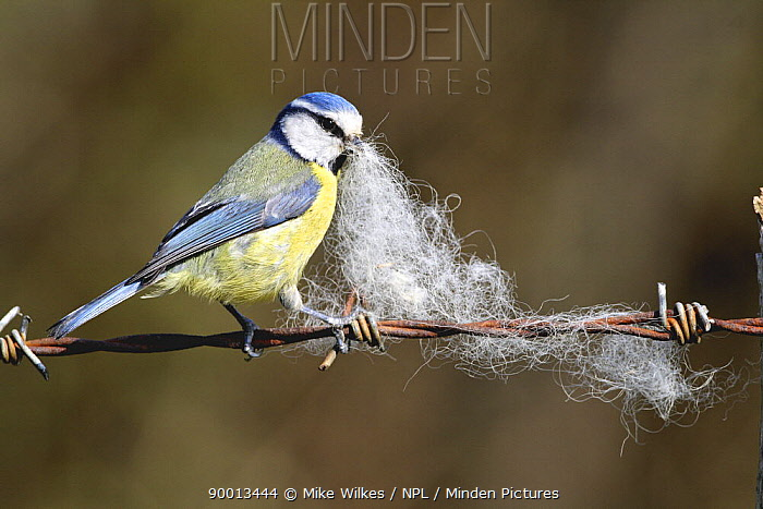 Blue Tit (Parus caeruleus) collecting sheeps wool caught on barbed wire, United Kingdom  -  Mike Wilkes/ npl