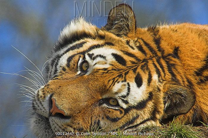 Bengal Tiger (Panthera tigris tigris) face portrait, whilst lying down, captive in United Kingdom  -  Colin Seddon/ npl