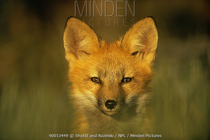 Red Fox (Vulpes vulpes) young cub, portrait, Colorado  -  Shattil & Rozinski/ npl