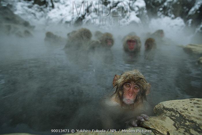 Japanese Macaque (Macaca fuscata) 8-month-old monkey bathing in hot springs, water at 40 degrees, Jigokudani, Nagano, Japan  -  Yukihiro Fukuda/ npl
