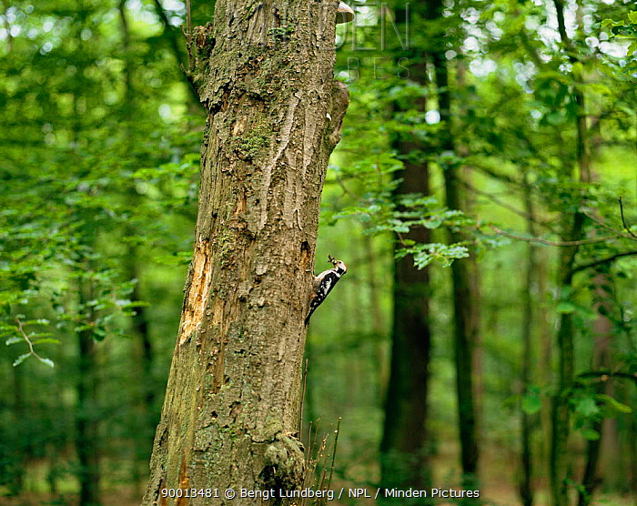 Middle Spotted Woodpecker (Dendrocopos medius) Sweden  -  Bengt Lundberg/ npl