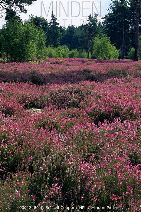 Dry heathland with flowering heather, Thursley Common NNR, Surrey, UK  -  Russell Cooper/ npl