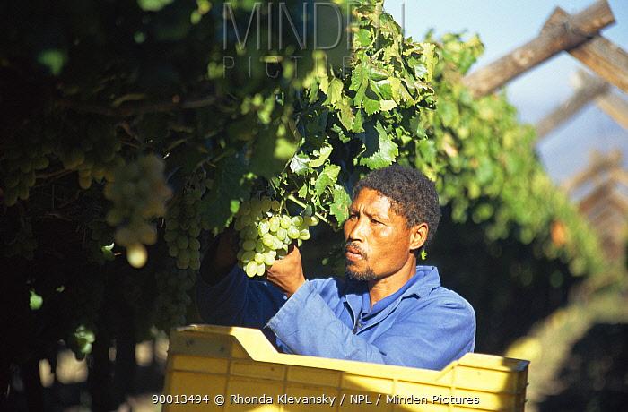 Harvesting White table grapes for export, Hex River Valley, Cape Province, South Africa  -  Rhonda Klevansky/ npl