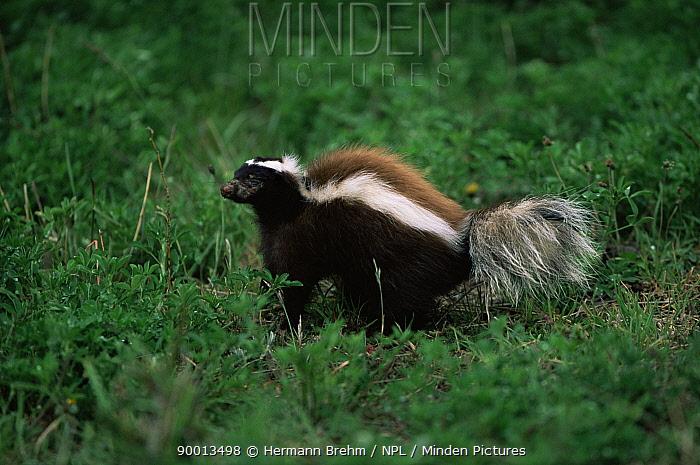 Hog nosed, Patagonian skunk (Conepates humboldtii) Torres del Paine NP, Chile  -  Hermann Brehm/ npl