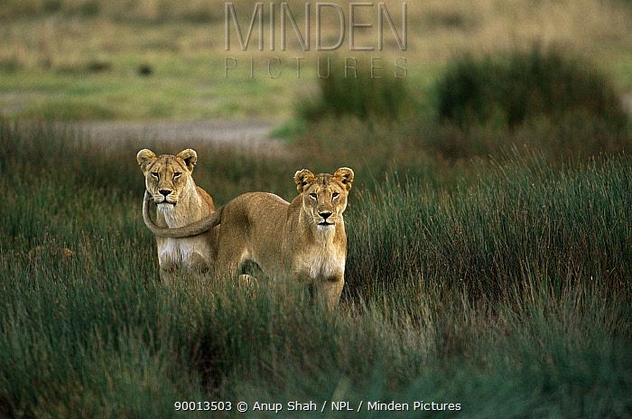 African Lion (Panthera leo) pair Serengeti National Park, Tanzania  -  Anup Shah/ npl