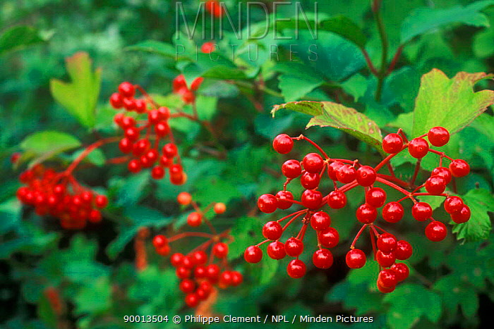 Guelder Rose (Viburnum opulus) berries France  -  Philippe Clement/ npl