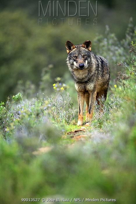 Iberian Wolf (Canis lupus signatus) captive, Lobo Park, Antequera, Malaga, Spain  -  Jose B. Ruiz/ npl