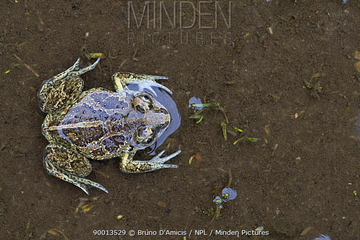 Common Spadefoot (Pelobates fuscus) from above, in water, Germany  -  Bruno D'amicis/ npl