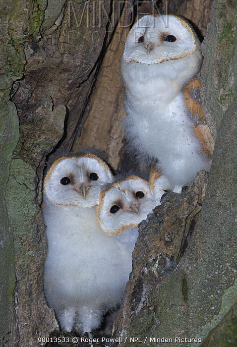 Barn Owl (Tyto alba) young watching arrival of parent from nest in tree trunk, Northumberland, United Kingdom  -  Roger Powell/ npl