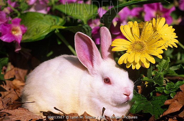 New Zealand Rabbit (Oryctolagus) amongst flowers Captive, USA  -  Lynn M. Stone/ npl
