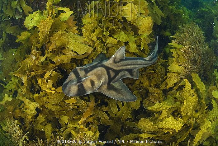Port Jackson shark (Heterodontus Philippi) swimming amongst seaweed, Albany, Western Australia  -  Jurgen Freund/ npl