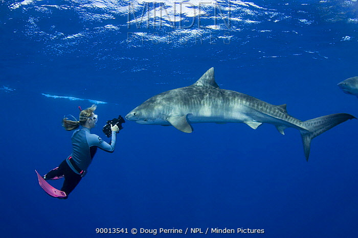 Tiger Shark (Galeocerdo cuvieri) filmed by Stefanie Brendl underwater, North Shore, Oahu, Hawaii  -  Doug Perrine/ npl