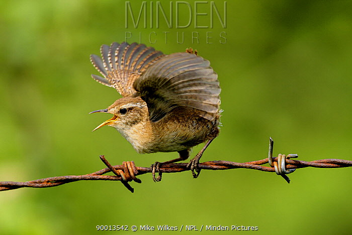 Winter Wren (Troglodytes troglodytes) singing with wings outstretched, perching on barbed wire, Warwickshire, United Kingdom  -  Mike Wilkes/ npl