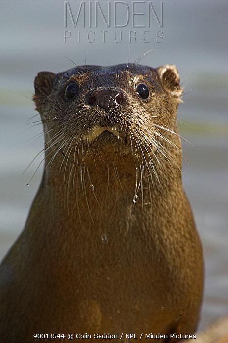 European River Otter (Lutra lutra) portrait, captive, United Kingdom  -  Colin Seddon/ npl