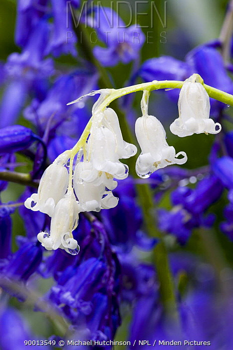 Bluebells (Endymion nonscriptus); white form amongst normal blue form, North Somerset, UK  -  Michael Hutchinson/ npl