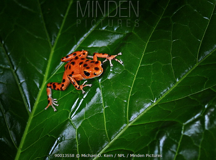 Strawberry Poison Dart Frog (Dendrobates pumilio) captive, from Bastimentos Island, Panama  -  Michael D. Kern/ npl