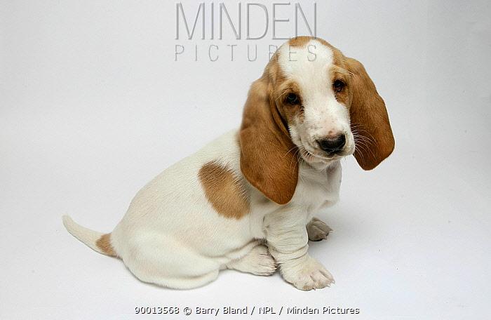 Basset hound puppy sitting  -  Barry Bland/ npl