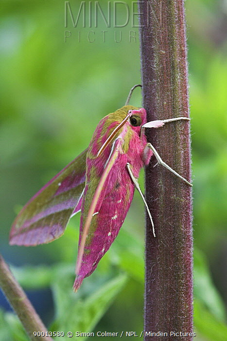 Elephant Hawk Moth (Deilephila elpenor), Sussex, United Kingdom  -  Simon Colmer/ npl