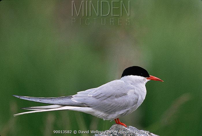 Arctic Tern (Sterna paradisaea) profile on rock, Alaska  -  David Welling/ npl