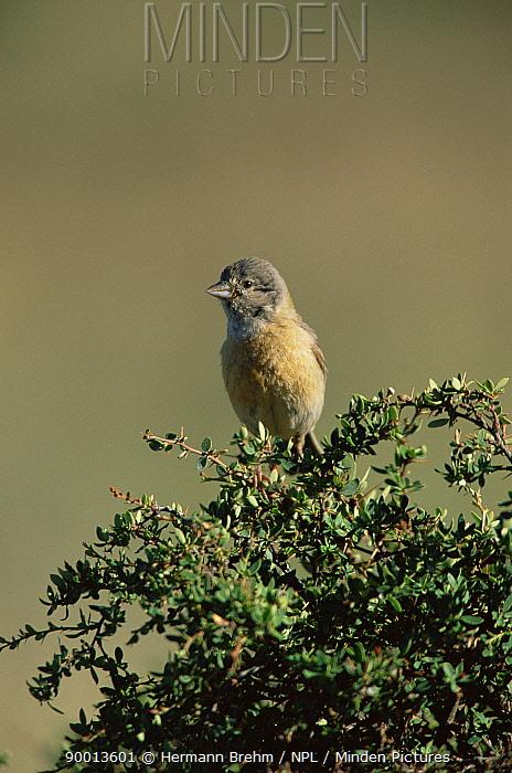 Grey-hooded sierra finch, female (Phrygilus gayi) Torres del Paine NP, Chile  -  Hermann Brehm/ npl