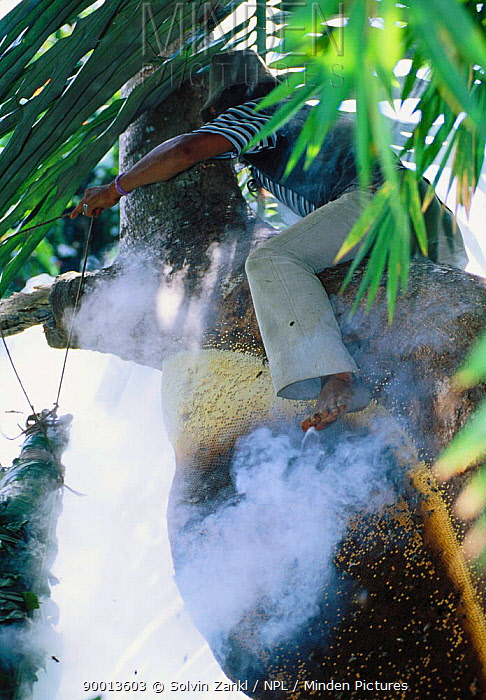 Climbing rainforest tree with smoker tool made from bamboo and palm leaves to drive Giant honey bees (Apis dorsata binghami) from nest before harvesting wild honey, North Pamona sub-district, Sulawesi, Indonesia  -  Solvin Zankl/ npl