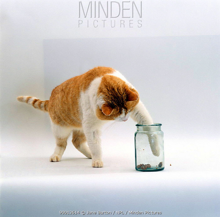 Domestic Cat (Felis catus), Ginger-and-white male 'Butch' tries to get food out of jar with paw  -  Jane Burton/ npl