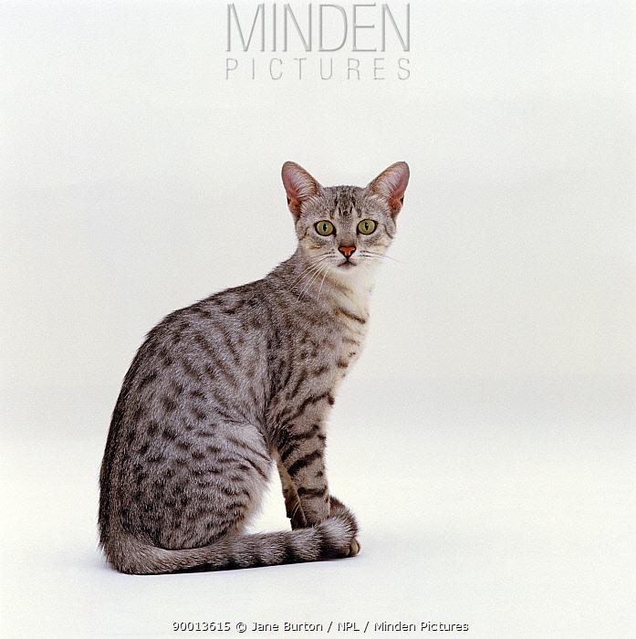 Domestic Cat (Felis catus) female Silver egyptian mau 'Holly'  -  Jane Burton/ npl