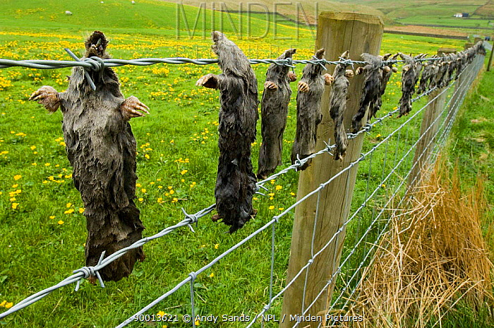 European Mole (Talpa europaea) caught by mole catcher, hanging dead on barbed wire fence, Upper Teesdale, County Durham, United Kingdom  -  Andy Sands/ npl