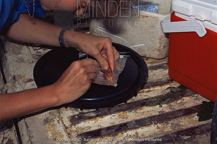 Christmas Island Red Crab (Gecarcoidea natalis) removed leg examined by scientist Christmas Island, Indian Ocean  -  Jurgen Freund/ npl