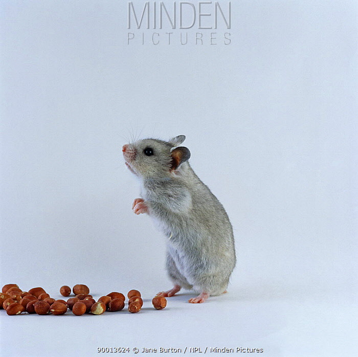 Golden Hamster (Mesocricetus auratus) standing on hind legs next to a pile of nuts  -  Jane Burton/ npl